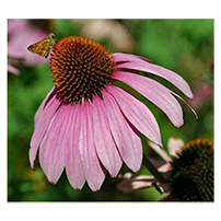 Terroir Seeds - Purple Coneflower Echinacea