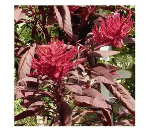 Terroir Seeds - Red Garnet Amaranth