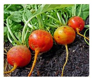 Terroir Seeds - Golden Detroit Beets
