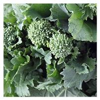 Terroir Seeds - Raab/Rapini Broccoli