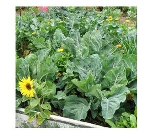 Terroir Seeds - Georgia Southern Collard Greens