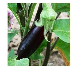 Terroir Seeds - Long Purple Italian Eggplant