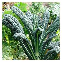 Terroir Seeds - Lacinato Kale