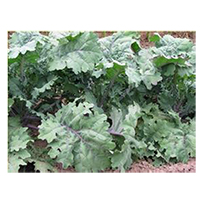 Terroir Seeds - Red Russian Kale