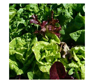 Terroir Seeds - Glorious Greens Lettuce Mix
