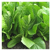 Terroir Seeds - St. Anne's Slow-Bolting Lettuce