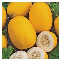 Terroir Seeds - Vine Peach/Mango Melon