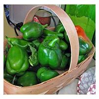 Terroir Seeds - Jupiter Sweet Pepper