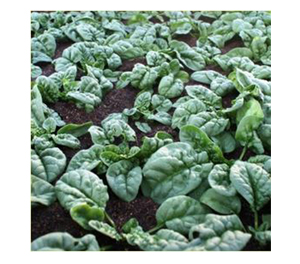 Terroir Seeds - Bloomsdale Spinach