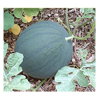 Terroir Seeds - Katanya Watermelon