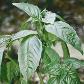 Terroir Seeds - Lime Basil