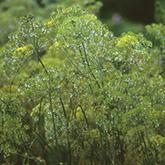 Terroir Seeds - Dukat Dill