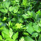 Terroir Seeds - Flat Leaf Parsley