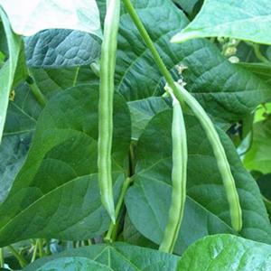 Terroir Seeds - Kentucky Wonder Beans