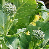 Terroir Seeds - De Cicco Broccoli