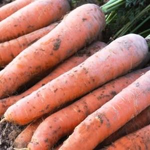 Terroir Seeds - Nantes Scarlet Carrots