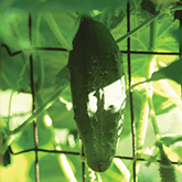 Terroir Seeds - Everbearing Cucumber SMR58