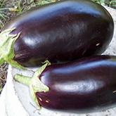 Terroir Seeds - Black Beauty Eggplant