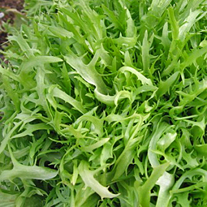 Terroir Seeds - Frisee Endive