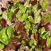 Terroir Seeds - Romaine Blend Lettuce
