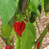 NS/S Chile Seeds - Jalapeño