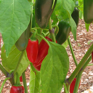 Terroir Seeds - Jalapeno Pepper