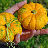 Terroir Seeds - Jack B Little Pumpkin