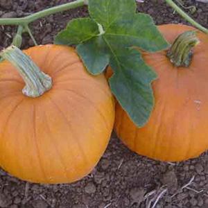 Terroir Seeds - New England Sugar Pie Pumpkin