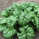 Terroir Seeds - Giant Noble Spinach