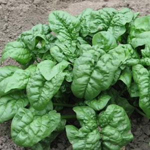Terroir Seeds - Giant Noble Spinach