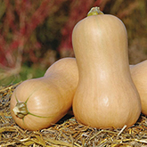 Terroir Seeds - Waltham Butternut Squash