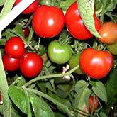 Terroir Seeds - Stupice Tomato
