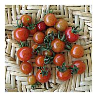 NS/S Tomato Seeds - Ciudad Victoria