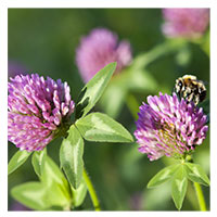 Mammoth Red Clover - Mammoth Red Clover – 0.5 lb