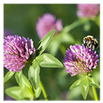 Mammoth Red Clover