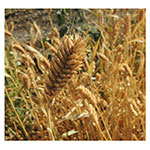NS/S Wheat Seeds - Pima Club