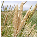 NS/S Wheat Seeds - White Sonora