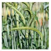 Winter Rye - Winter Rye – 5 lbs