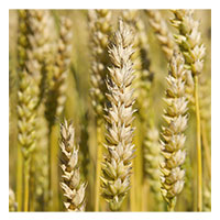 Winter Wheat - Winter Wheat - 2 lbs