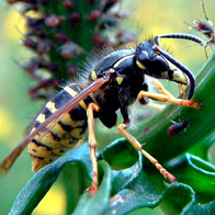 Yellow Jacket and Wasp Control