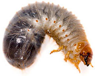 Beetle Larva - Larvae stage of the Japanese Beetle