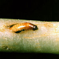 Wireworm Control