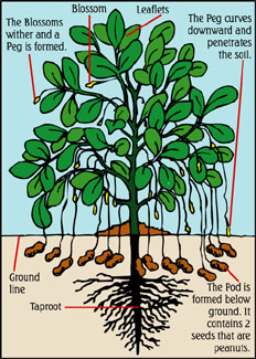 How Peanuts Grow Aunt Ruby S Peanuts