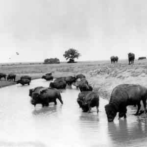 Buffalo at water circa 1904 by Denver Kendrick. Source: Library of Congress