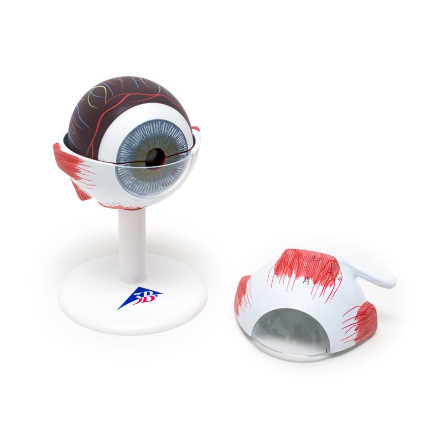 Anatomical Eye Model