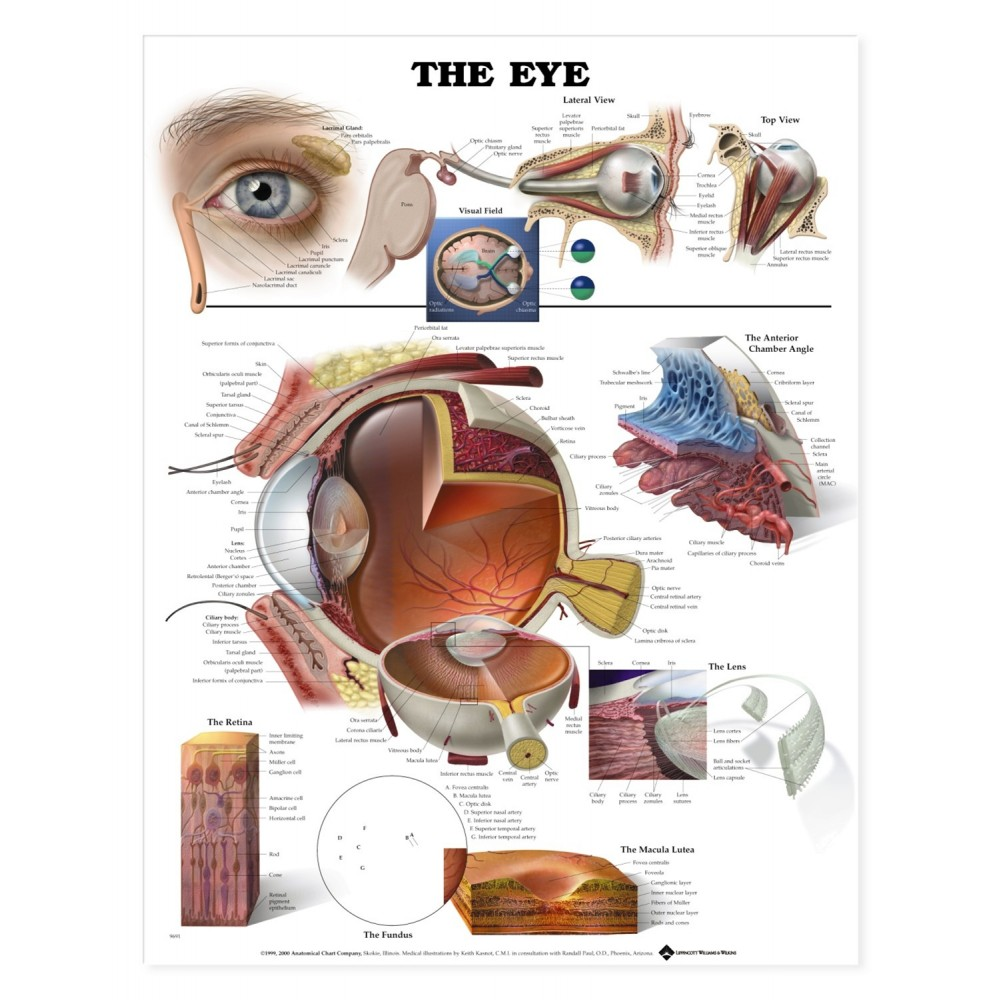 Eye Anatomychartsmodels Bernell Corporation