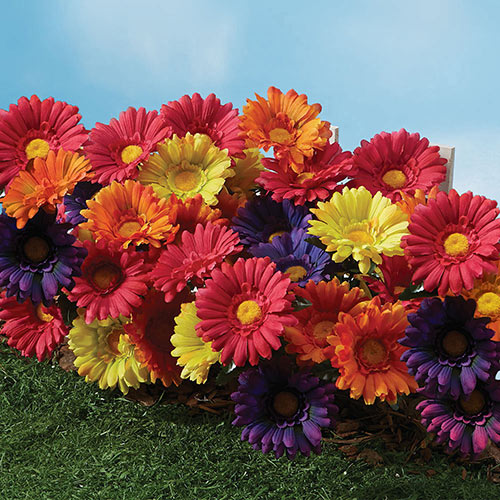 All Weather Forever Blooms- Colorful Daisy