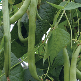 Help! My bush beans look more like pole beans!