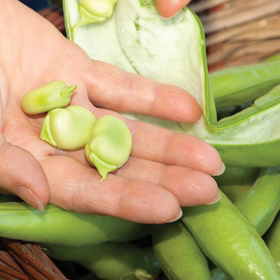 Bring back the fava bean!