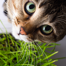 Cat Grass: Growing Healthful Kitty Greens